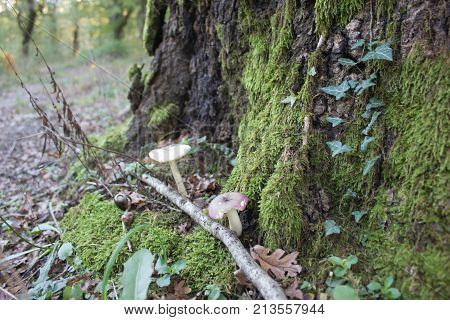 The trunks of oak trees covered with green moss in the background with Mushrooms a ground. Forest background