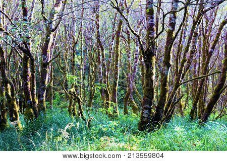 Lush green plants surrounding trees with moss taken at a temperate rain forest in the Northern California Coast