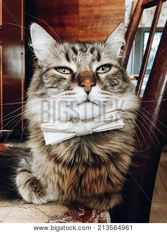 Beautiful Cat In Bow Tie. Funny Feline Sitting On Wooden Chair With Bow Tie, Little Gentleman