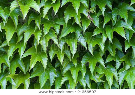 Detail Of Ivy Wall