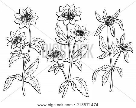 Bidens flower graphic black white isolated sketch illustration vector