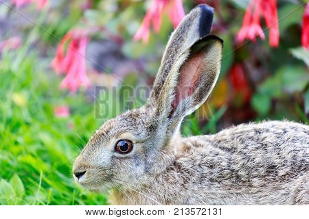 European Hare (Lepus Europaeus) Close-up. Alert European Brown Hare profile view. Helsinki, Finland.