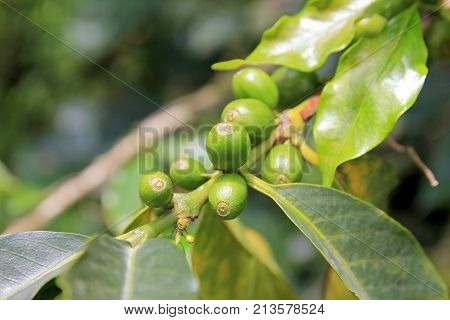 Coffee bean, coffee cherries or coffee berries on coffee tree, near El Jardin, Antioquia, Colombia, South America