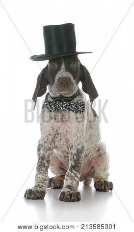 male german shorthaired pointer puppy wearing tophat and bowtie on white background