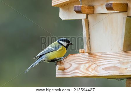 Coal tit, small passerine bird in yellow grey with black white nape spot on head, perching on wooden bird house feeder, Autumn in Austria, Europe (Periparus ater)