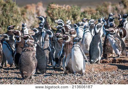 Magellanic penguins in Patagonia Argentina South America