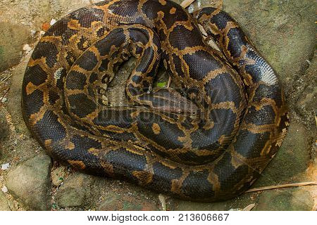 photo of a resting Boa constrictor snake