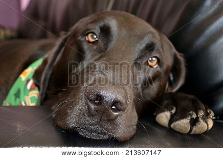 black lab dog laying on the couch looking at camera