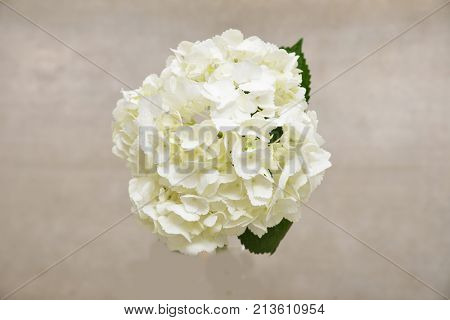 Bouquet of white hydrangea with leaf –gray background