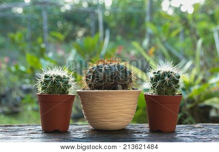 Cactus wood cactus in tree pot. Cactus plants on wood table and nature background.