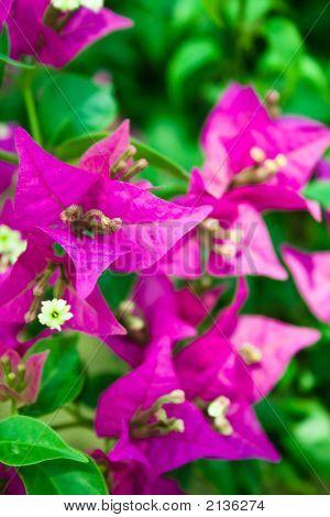 Purple Bougainvillea Glabra Chois Flowers