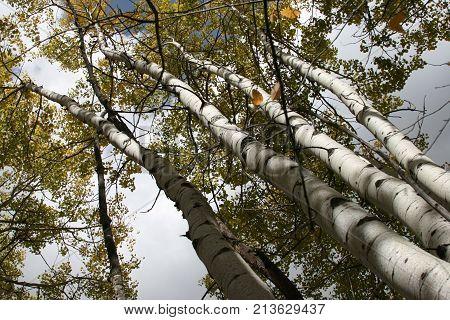 Tall stand of Colorado Aspens near Aspen, Colorado
