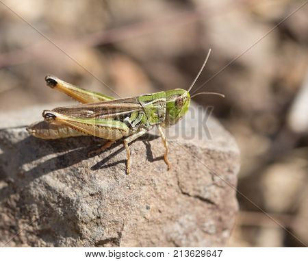 grasshopper on a stone. macro . In the park in nature
