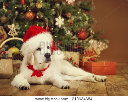 Christmas Dog White Puppy Retriever in Santa Hat Lying under Xmas Tee New Year Pet in Present Gifts
