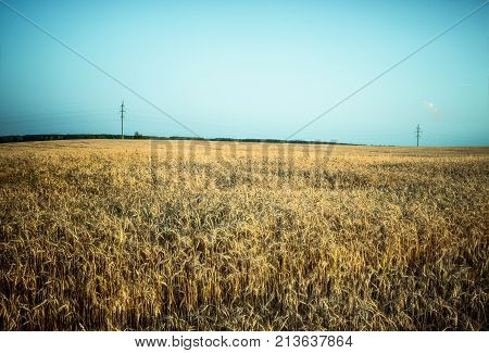 wavy rye field with far telegraph poles