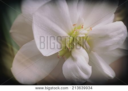 Beautiful white Narcissus flower with petals and stamens. Is closeup