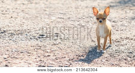 The little toy Terrier stands alone on a sandy track. Horizontal shot of a cute dog