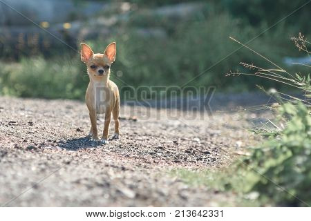 The little toy Terrier stands alone on a sandy track. Horizontal shot of a cute dog on the background of green grass