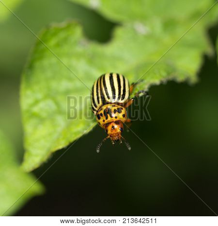 Colorado potato beetle in nature. macro . In the park in nature