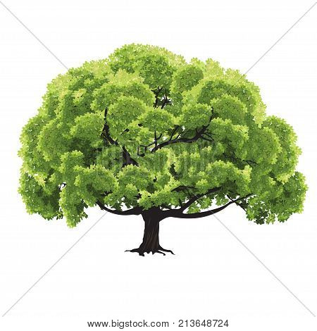 Big tree with green foliage in the summer the color vector drawing on a white background