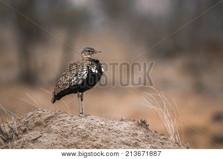 Red-crested bustard in Kruger national park, South Africa ; Specie Lophotis ruficrista family of Otididae