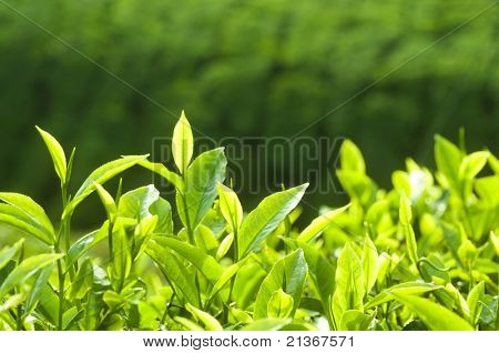 Close up fresh tea leaves in morning sunlight.