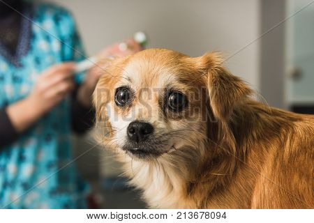 Veterinary doctor examines a mongrel dog at vet ambulance. Dog looks at camera. Female nurse filling syringe in background.