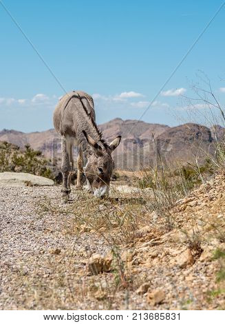 Wild burro grazing on the side of gravel road on a warm summer day in Arizona with blue sky