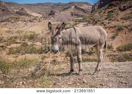 Wild burro grazing on the side of a gravel road in Arizona.