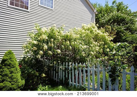 Elderberry bushes  blossom in a garden next to a white picket fence in Joliet, Illinois, during June.