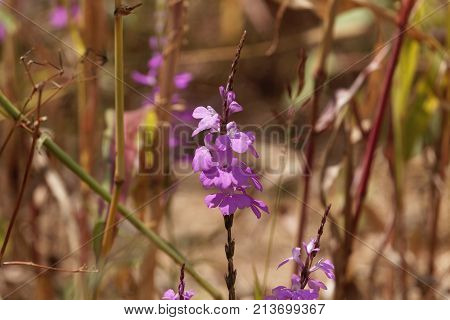 Flowers Of Giant Witchweed (striga Hermonthica)