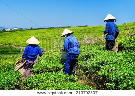 Tea pickers working on tea plantation. Unidentified workers in traditional hats collecting tea leaves. Scenic green rows of tea bushes and blue sky are visible in background.
