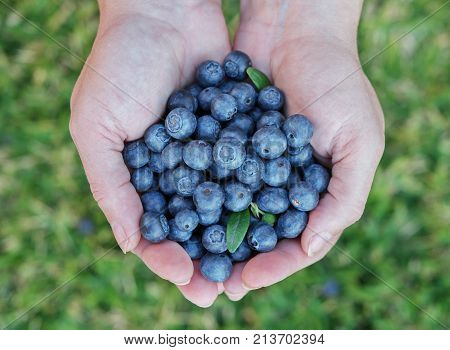 Blueberries in womans hands closeup with green leaves.Shallow focus