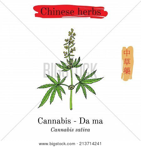 Medicinal herbs of China. Safflower Carthamus tinctorius Hieroglyph translation Chinese herbal medicine