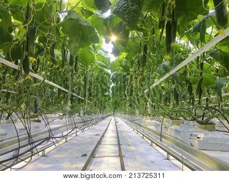 Cucumbers growing in a greenhouse for hydroponics. Fresh organic cucumbers