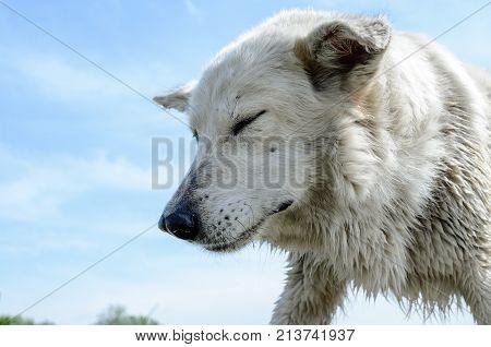 Large Homeless Stray White Dog