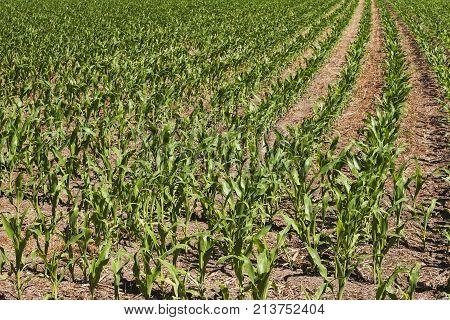 Corn field in the lands of a Pateira de Fermentelos Portugal