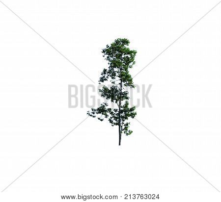 Green Tree With Sun Light In Morning  And Shadow On Trunk In Beginning  Winter In Thailand On White