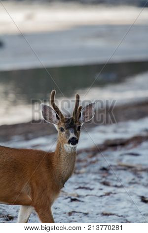 Young deer on a beach at dusk looking at camera