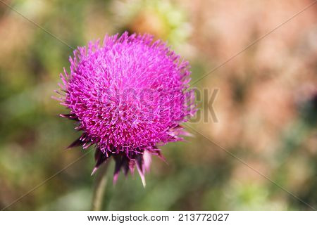 Bright pink flower of the medicinal plant thistle (prickly, Marin Tartar, silver tartar) on the green stalk. Macro - close-up, background is green-brown - blurred. The flower is on the left.