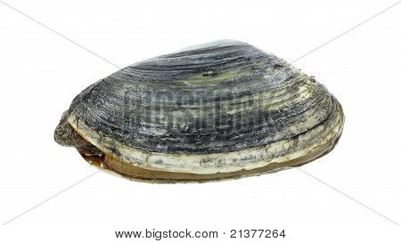 Softshell Clam