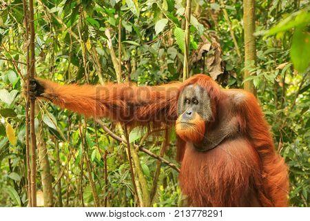 Male Sumatran Orangutan Standing On The Ground In Gunung Leuser National Park, Sumatra, Indonesia