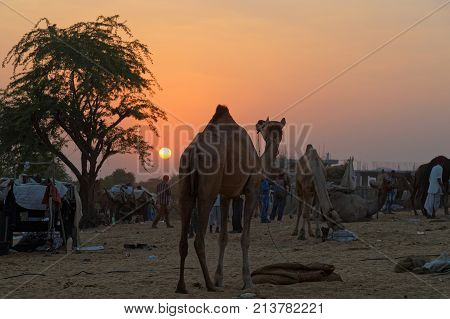 PUSHKAR INDIA October 28 2017 : Sunset on camels market. Pushkar fair is one of the largest cattle fairs in the country with thousands of camels.
