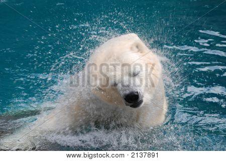Shaking Polar Bear In Water