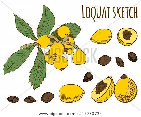 Loquat colored sketch isolated on white. VECTOR illustrations sei isolated on white background,
