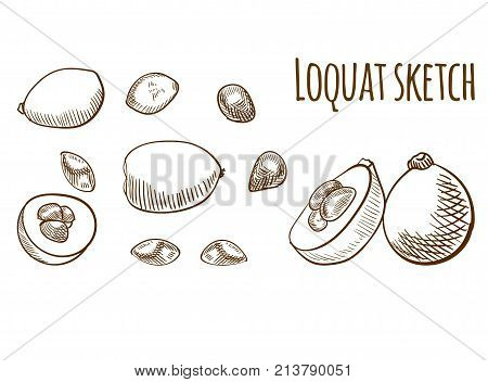 Loquat outline drawing isolated on white. VECTOR illustration. Brown lines set