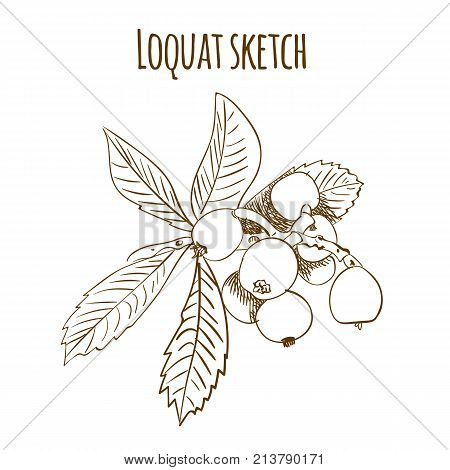 Loquat outline drawing isolated on white. VECTOR illustration. Brown lines branch.