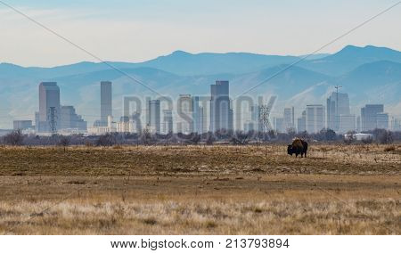 An American Bison Grazing on the Plains in front of the Denver Colorado Skyline