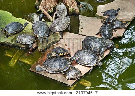 Pond Red-eared Slider And Yellow-bellied Slider