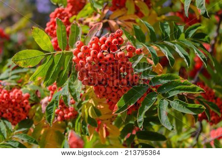 Red ashberry in autumn a big bunch
